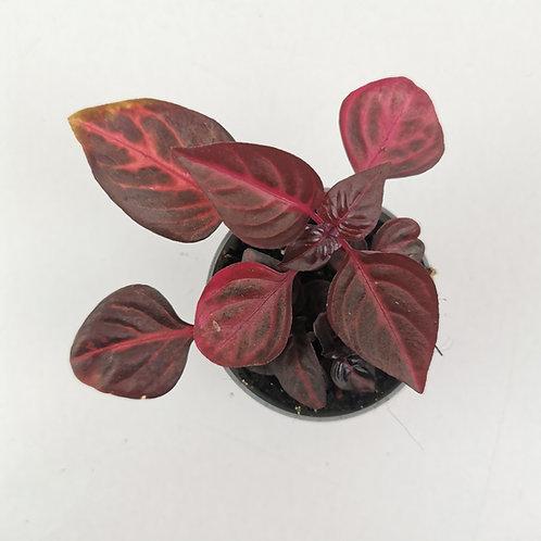 Iresine Herbstii Bloodleaf