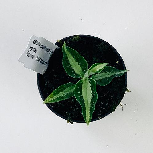 Aspidogyne Argentea Orchid