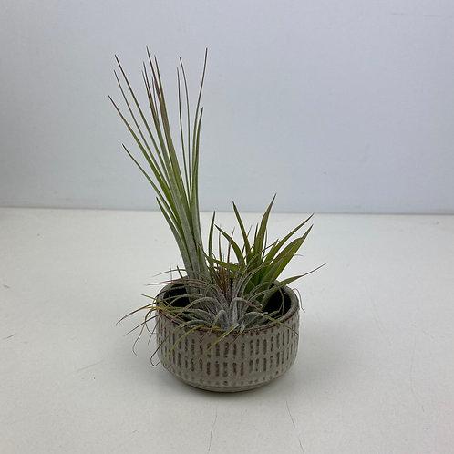 Tillandsia - Air Plant varieties with optional holder pot