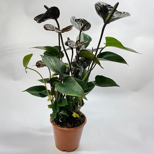 Anthurium Andraeanum Black Love houseplant - Flamingo Flowers