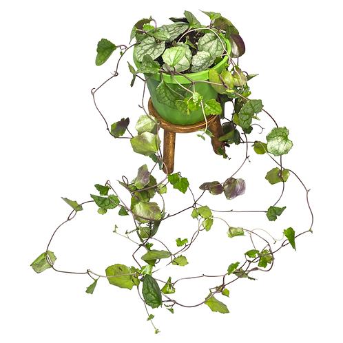 Bryony-Leaved Flowering Ivy - Senecio Bryoniifolius string hanging creeper