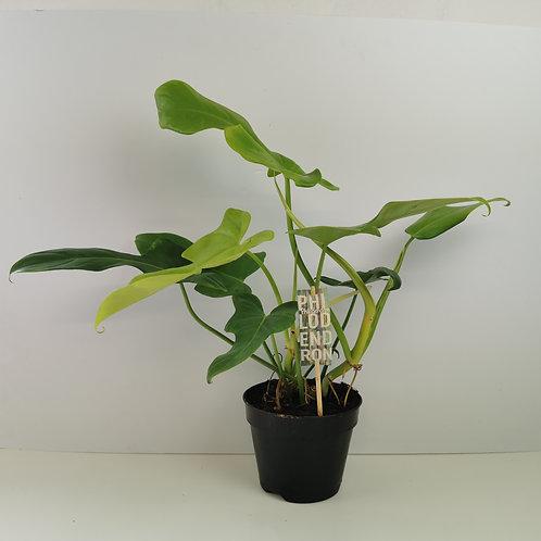 Rare Philodendron Yellow Violin Houseplant
