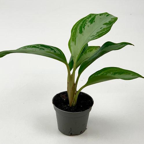 Chinese Evergreen - Aglaonema - Maria