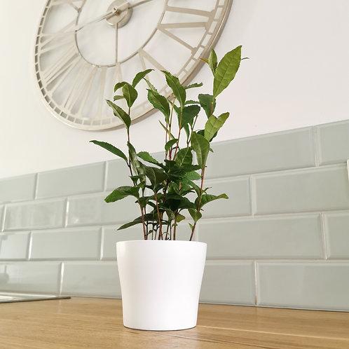 Tea Plant (Camellia Sinensis) - Grow you own tea!