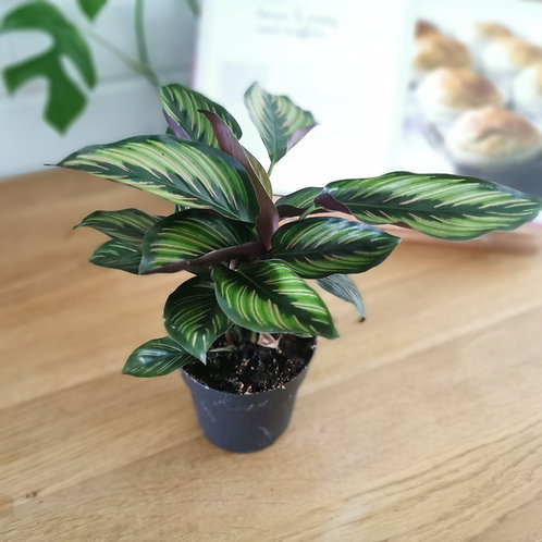 Calathea Beauty Star - Variegated Green/Light Green/Pink Leaves