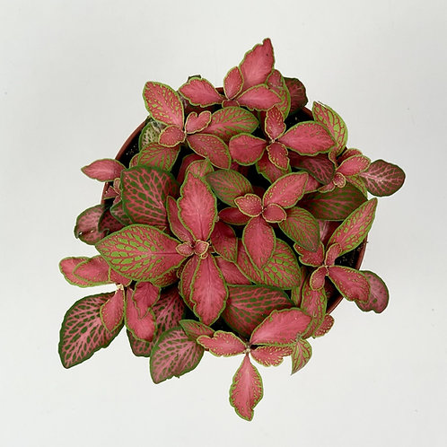 Fittonia Ruby Lime