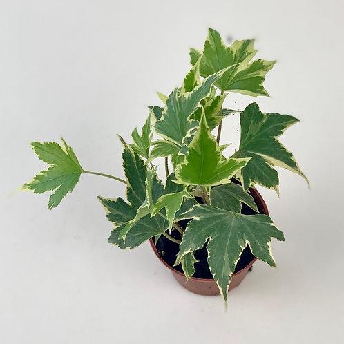 Hedera Helix Yellow Ivy