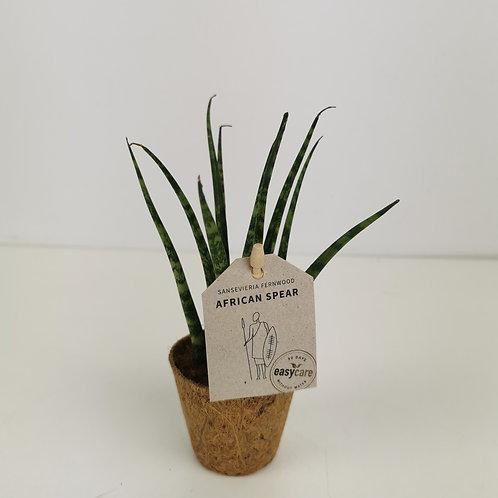 Sansevieria Fernwood Mikado Mini Plant