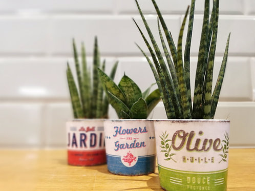 Trio / Quinto Mini Sansevieria Plants in Vintage Ceramic Planters