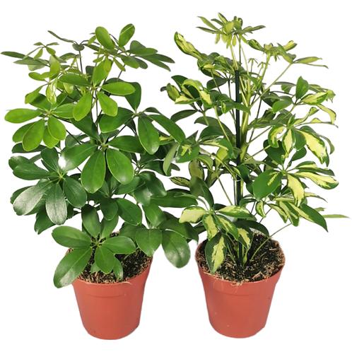 Schefflera - Umbrella Plant