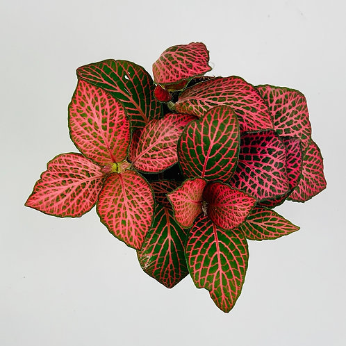 Fittonia Red Diamond