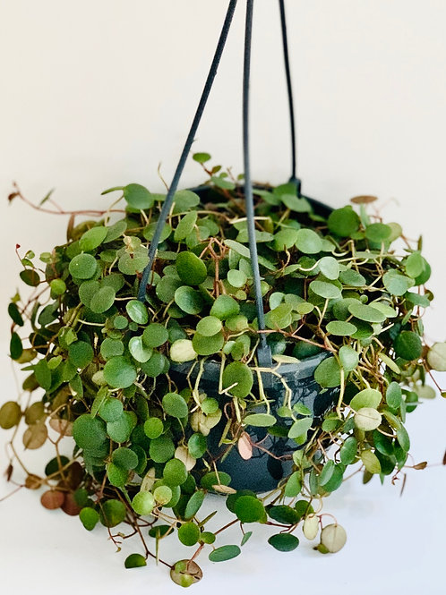 String of Coins (Peperomia Pepperspot)