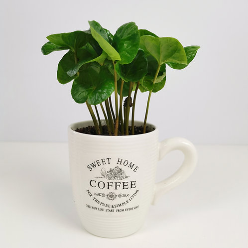 Coffee plant with coffee cup planter