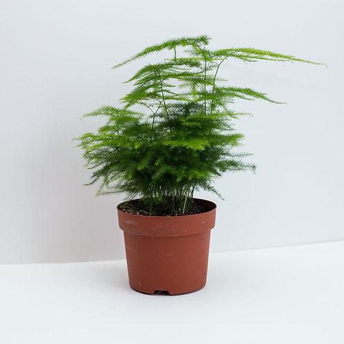 Asparagus Fern also known as Plumosa Fern Houseplant