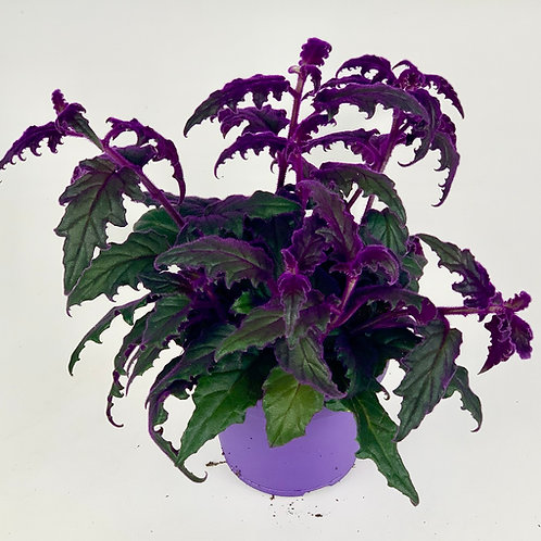 Gynura Purple Velvet