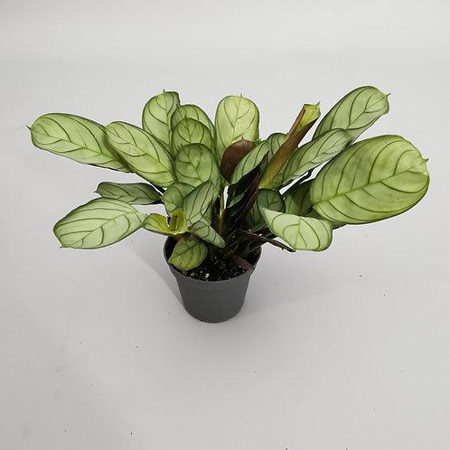 "Maranta leuconeura Mint ""Prayer plant"""