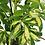 Thumbnail: Schefflera - Umbrella Plant