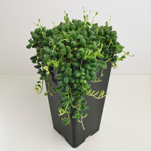String of Beads (Senecio Rowleyanus)