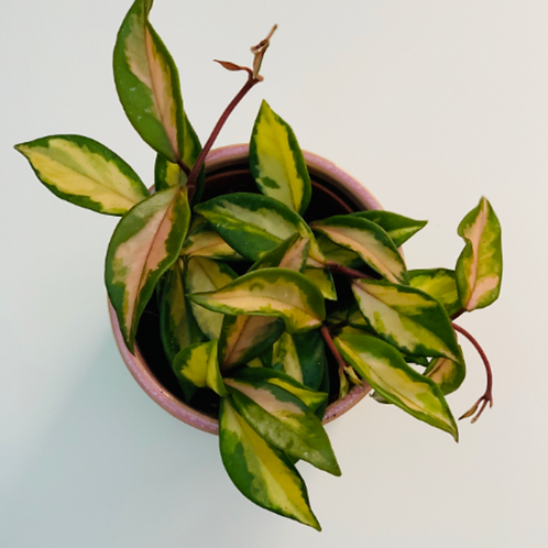 Hoya Carnosa Albomarginata Tricolour