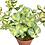 Thumbnail: Sedum Sieboldii Variegata - flowering sedum