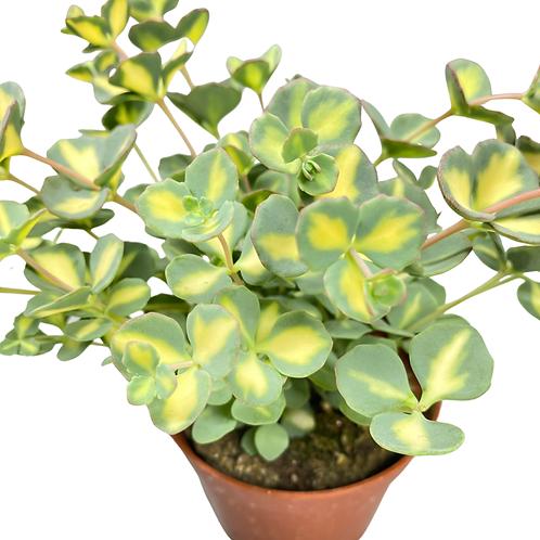 Sedum Sieboldii Variegata - flowering sedum