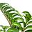 Thumbnail: Zamioculcas Zamiifolia Zenzi ZZZ houseplant