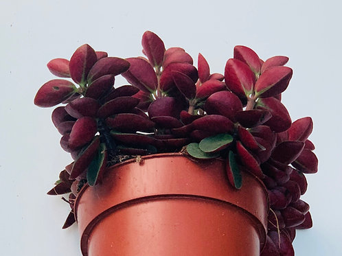 Peperomia Verticillata Red