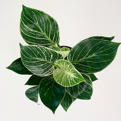 Rare Philodendron Birkin - Variegated White Pin Stripe Leaves