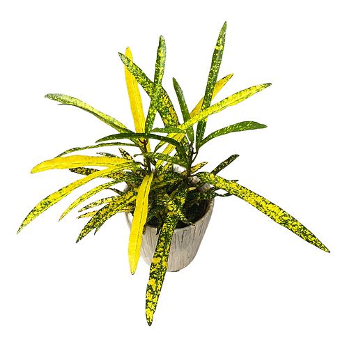 Croton Gold Star Codiaeum Variegatum house plant - showstopper!