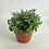 Thumbnail: Tradescantia Cyanotis Trailing House Plant