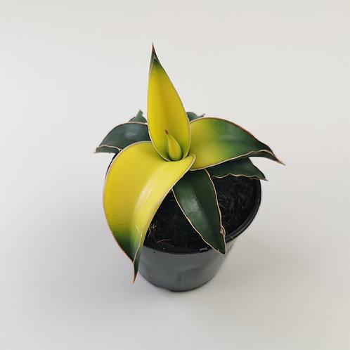 Sansevieria Star - Yellow Canary