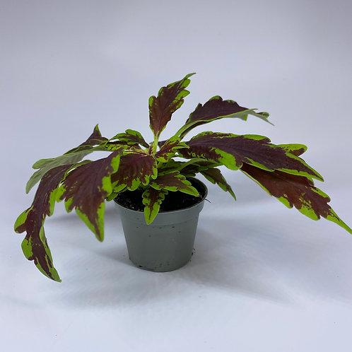 COLEUS Le Freak Houseplant - mini plant - 6cm pot