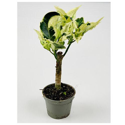 Croton Codiaeum Variegatum Tamara
