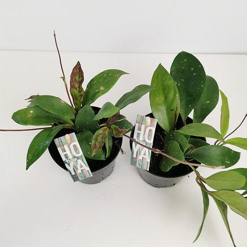 Hoya Carnosa Gracilis Houseplant