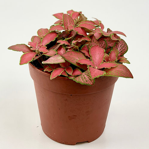 Fittonia Red Angel