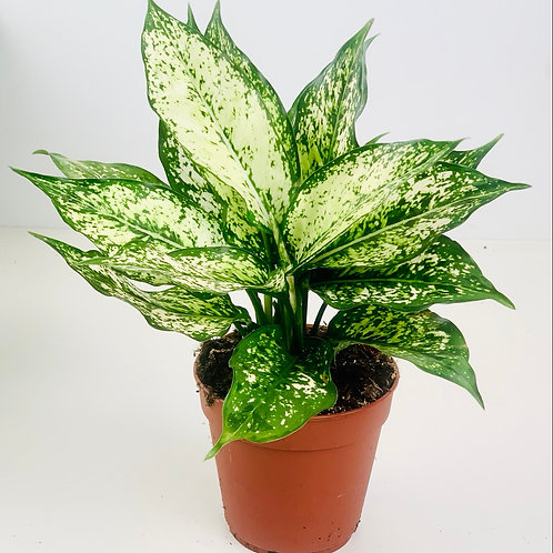 Chinese Evergreen - Aglaonema - Speckled White