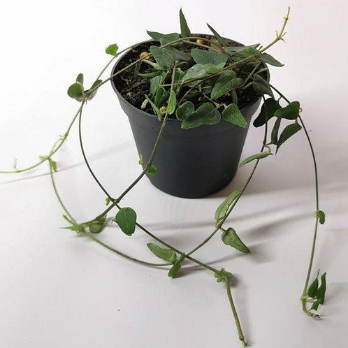 String of Hearts - Ceropegia Orange River - Houseplant
