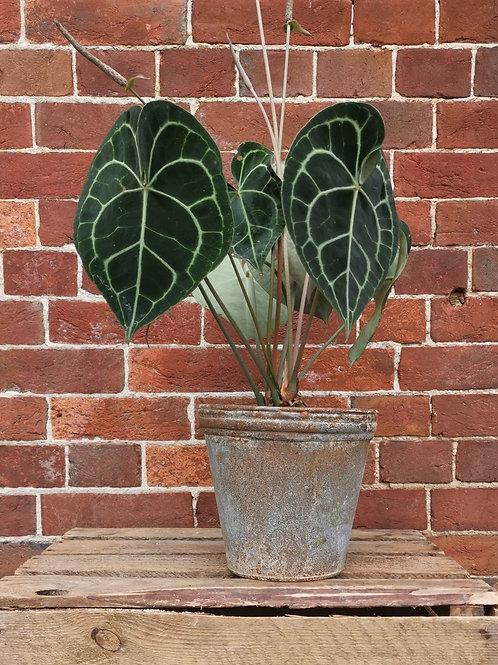 Large Anthurium Clarinervium
