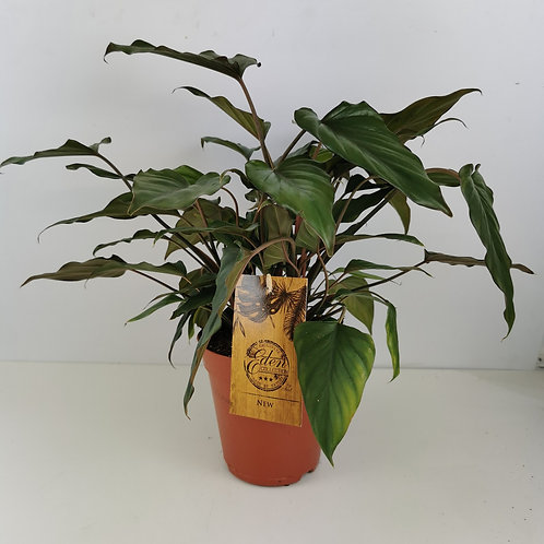 Philodendron Arrow-head