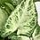 Thumbnail: Syngonium Arrow