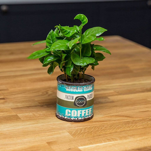 Coffee Plant (Coffea Arabica) in Ceramic Vintage Style Planter