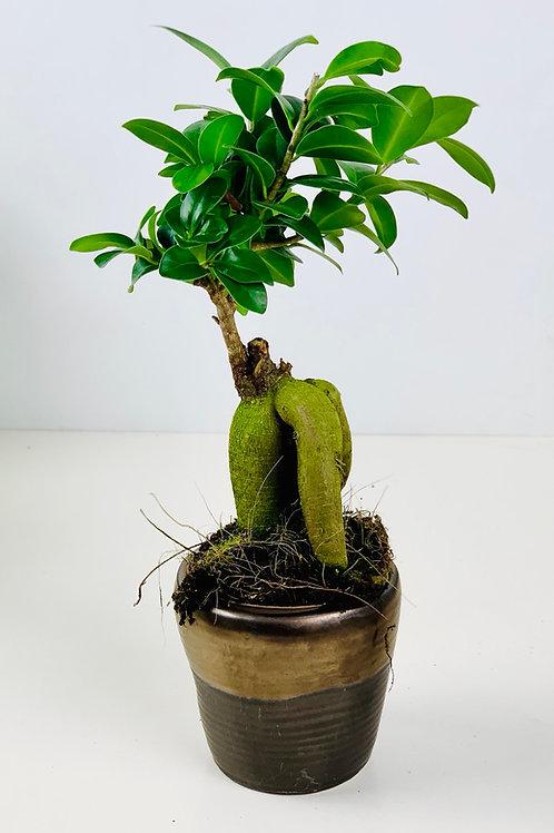 Ficus Ginseng aka Ficus microcarp