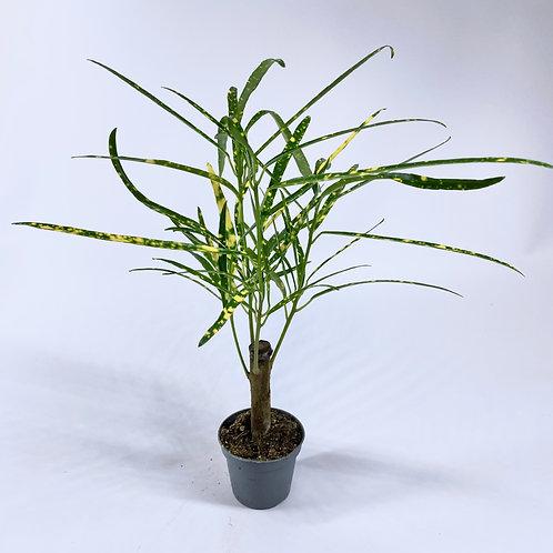 Croton Pictum - Codiaeum variegatum Mini 6cm pot Houseplant