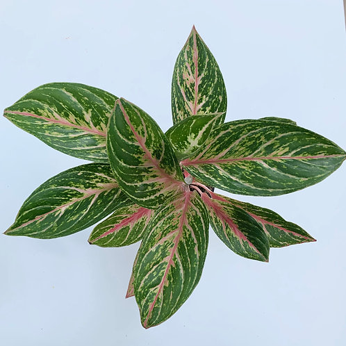 Chinese Evergreen - Aglaonema - Red Butterfly Mannis