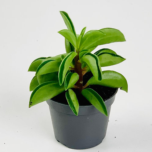 Peperomia Fire Sparks