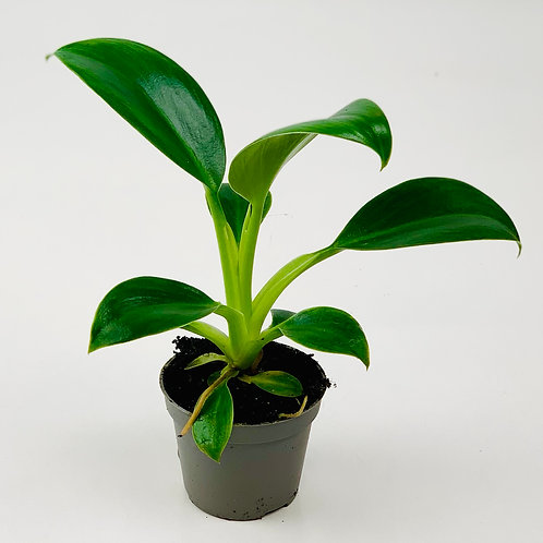 Philodendron Golden Princess
