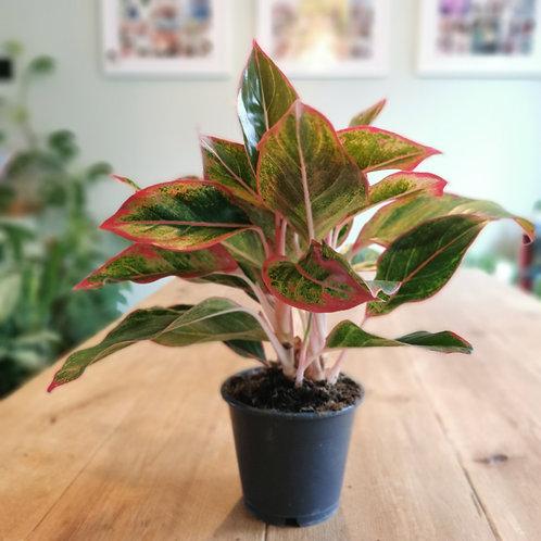 Chinese Evergreen - Aglaonema - Crete / Red Edge