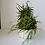 Thumbnail: Hoya Linearis Hanging - aka Wax Plant / Porcelain Flower