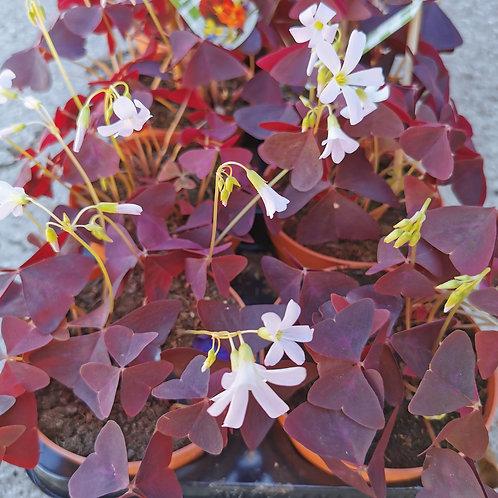 Oxalis Triangularis Pink
