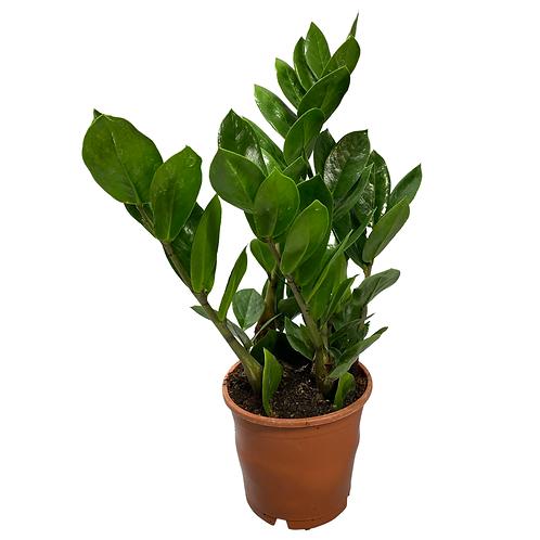 Zamioculcas Zamiifolia ZZ plant - perfect starter plant